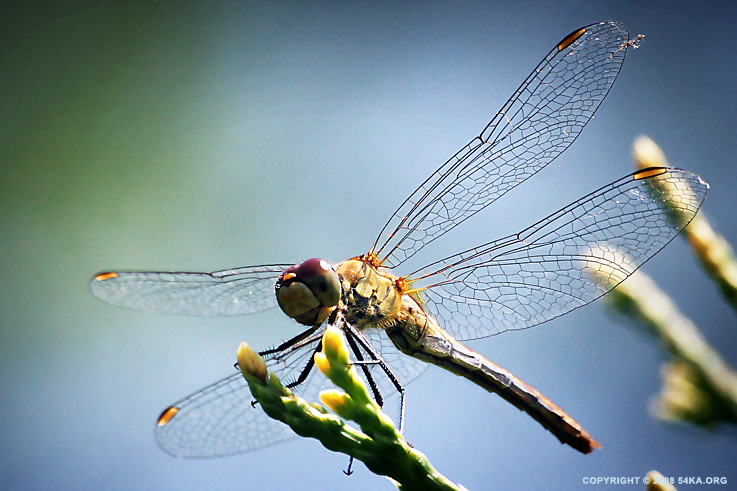 54ka dragonfly :: Dragonfly :: photography macro animals