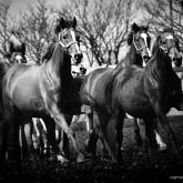 Horses VI