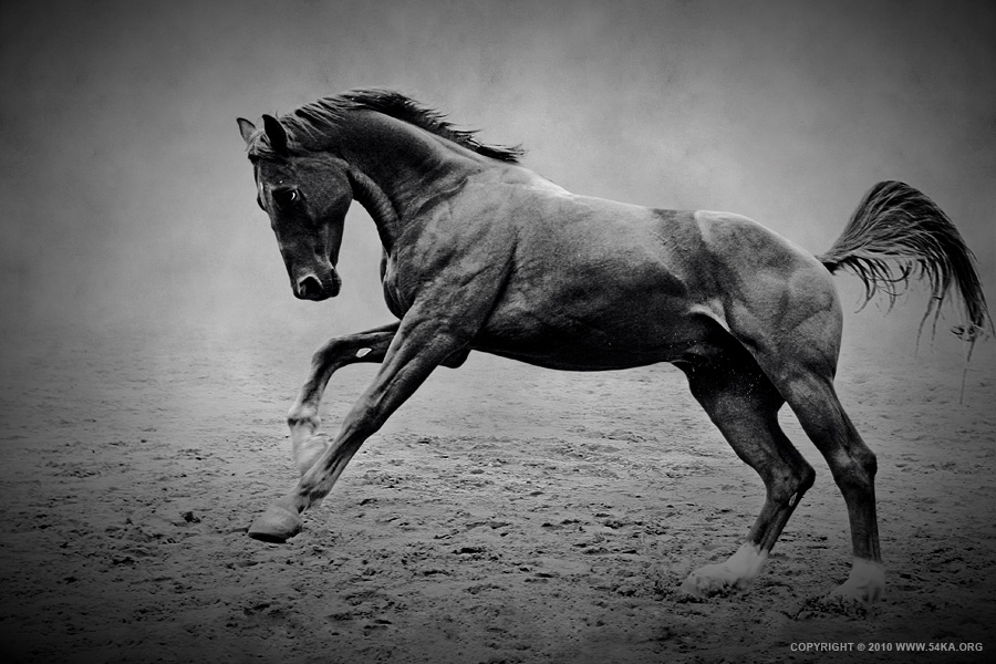 The Black Horse photography photomanipulation featured equine photography animals  Photo