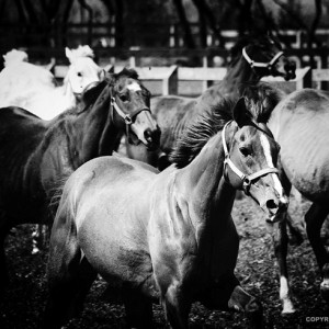Horses Black and White