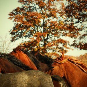 Autumn Horses III