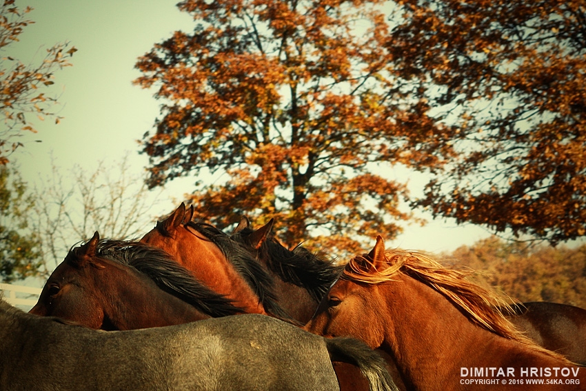 Autumn Horses III photography best of animals  Photo