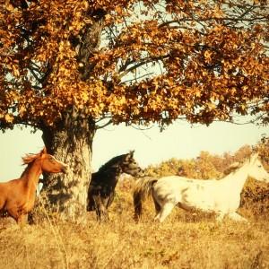 Autumn Horses II
