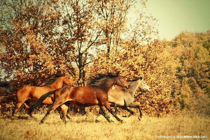 Autumn Horses IV photography best of animals  Photo