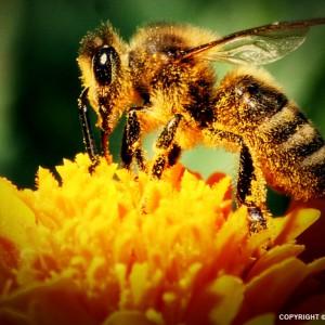 Bee I