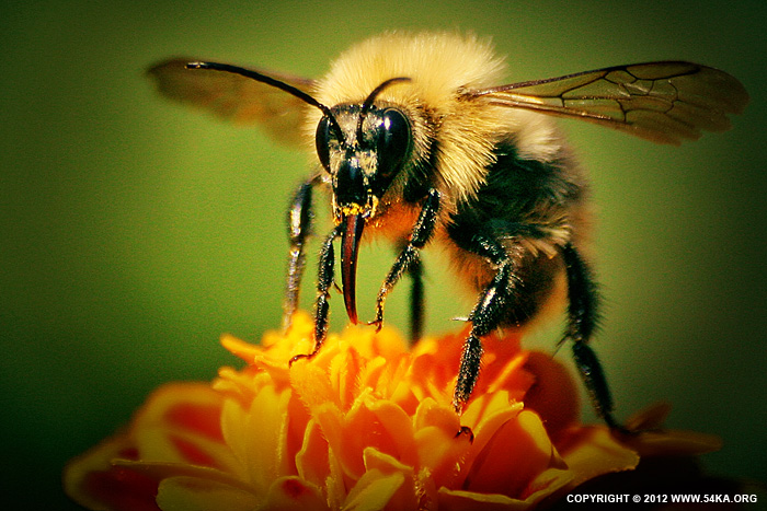 Bee II photography macro animals  Photo