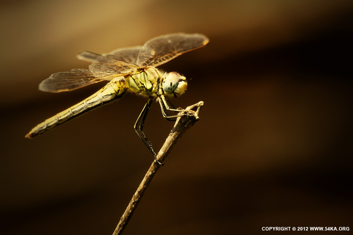 Dragonfly II photography animals  Photo