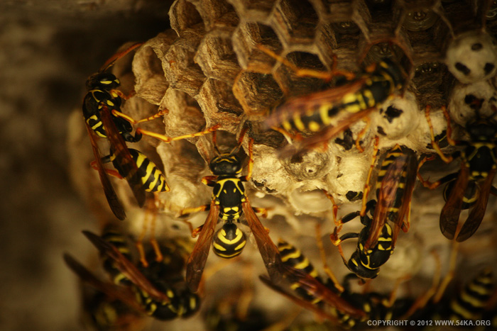 Wasp I photography macro animals  Photo