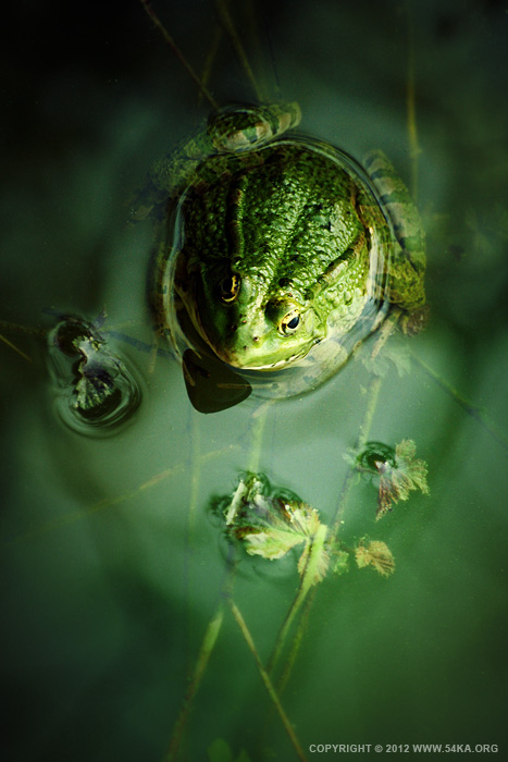 frog 01 by 54ka :: Frog :: photography index animals