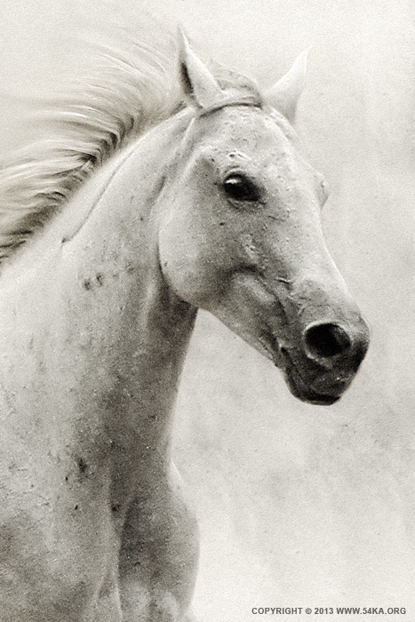 The White Horse II   Equestrian Portrait photography photomanipulation animals  Photo