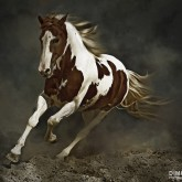 Pinto Horse in Motion