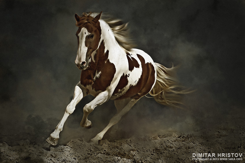 Pinto Horse in Motion photography photomanipulation best of animals  Photo