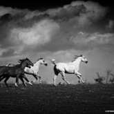 Equine Black and White Photography