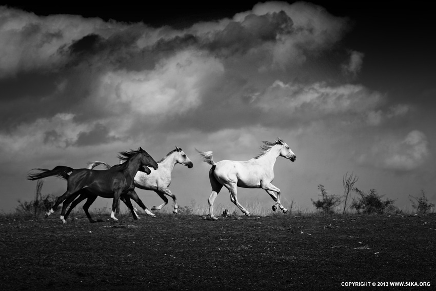 Equine Black and White Photography photography landscapes featured equine photography animals  Photo