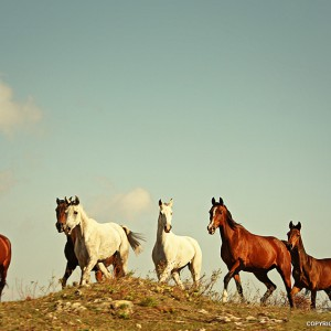 Wild Horses Tabun