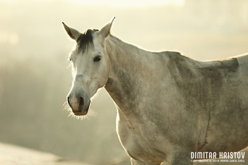 White Horse Vintage Portrait photography featured equine photography animals  Photo