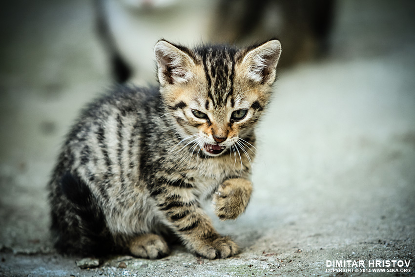 Angry Cat photography animals  Photo