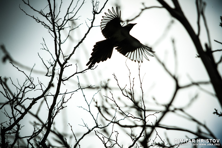 Flying Crow photography featured animals  Photo
