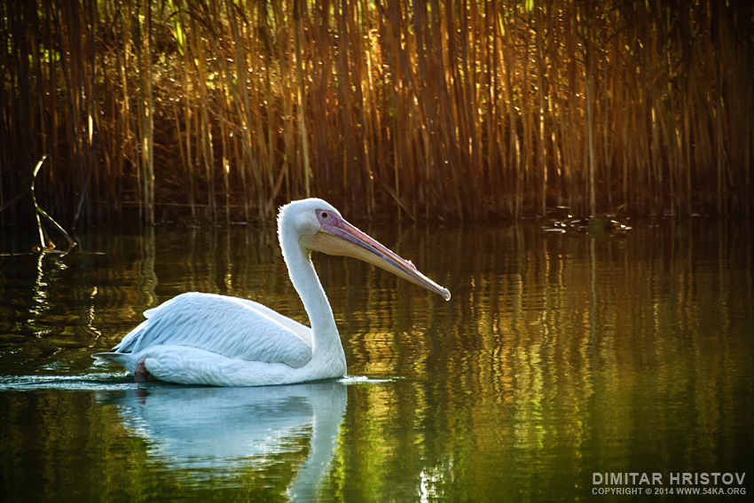 Pelican Swim in The Lake photography animals  Photo