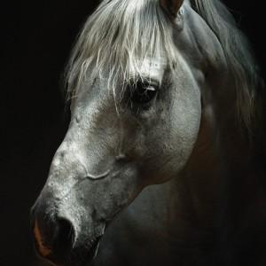 White horse portrait – Horse head
