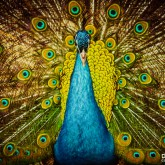 Beautiful Colorful Peacock