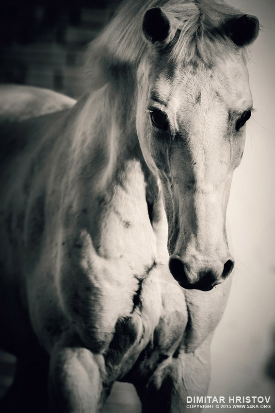 White horse close up portrait photography featured equine photography animals  Photo