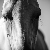 White horse stallion portrait