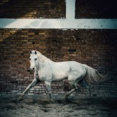 Arab white horse in paddock