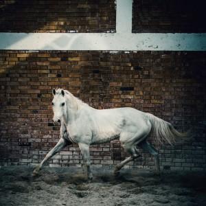 Arab white horse in paddock