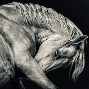 Arabian white horse portrait