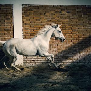 Beautiful arabian white horse