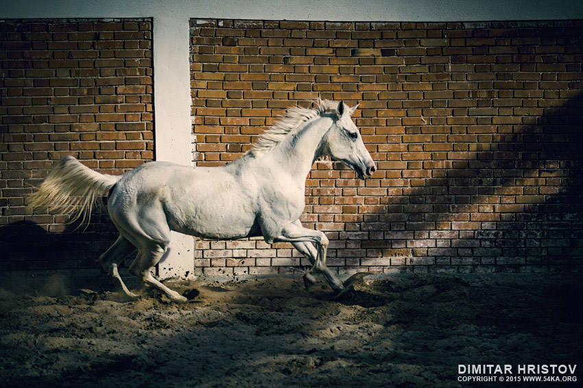 Beautiful arabian white horse photography equine photography animals  Photo