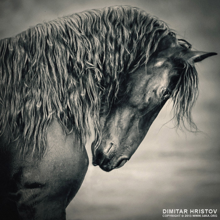 Beautiful friesian horse stallion photography featured equine photography black and white animals  Photo