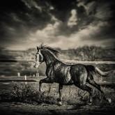Beautiful stallion running