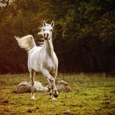 Beautiful white arabian horse in the forest