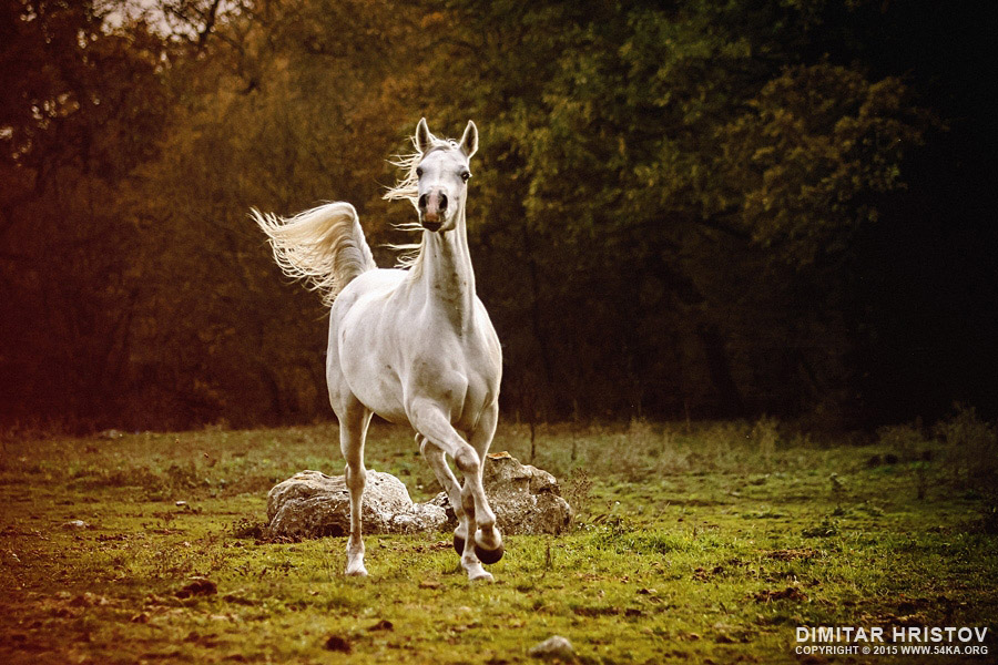 Beautiful white arabian horse in the forest photography featured equine photography animals  Photo