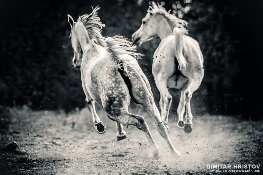 Two white horses galloping photography featured equine photography animals  Photo