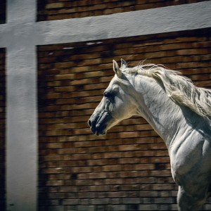 White horse in the stud