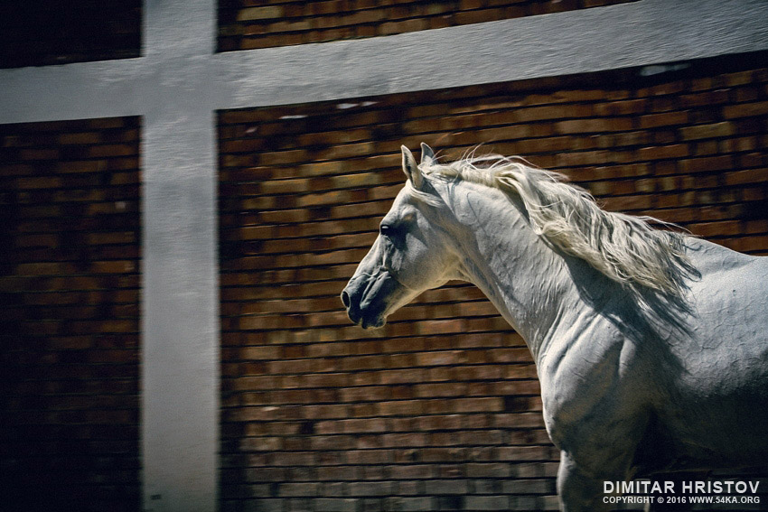 White horse in the stud photography equine photography animals  Photo