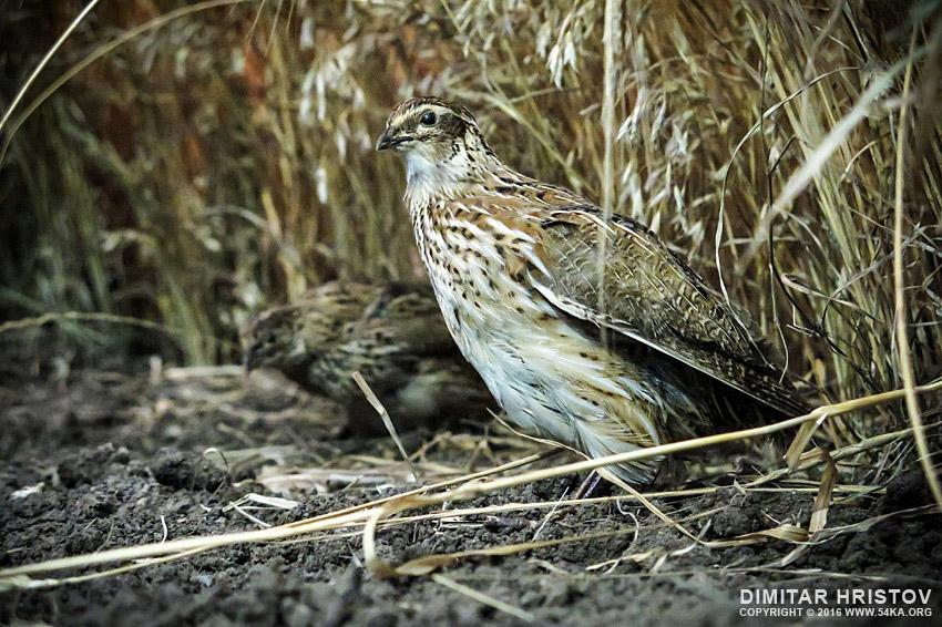 Female pheasant photography animals  Photo