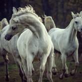 Three white horses – running stallions