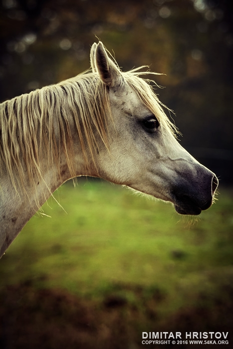 White arabian horse head photography equine photography animals  Photo