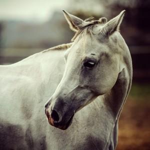 White horse close up vintage colors portrait