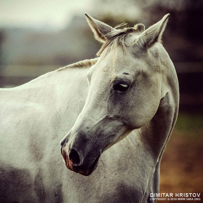White horse close up vintage colors portrait photography featured equine photography animals  Photo