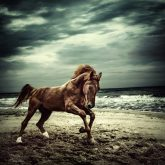 Brown horse galloping on the coastline – running horses