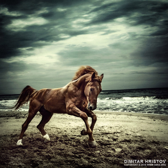 Brown horse galloping on the coastline   running horses photography featured equine photography animals  Photo