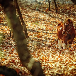 Little horse – Pony in the autumn forest
