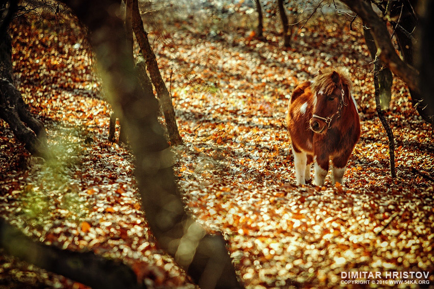 Little horse   Pony in the autumn forest photography equine photography animals  Photo