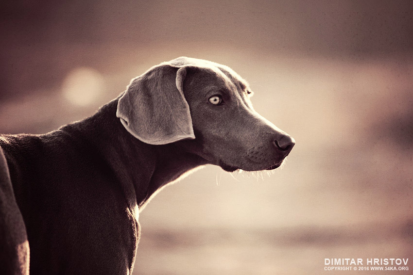 Purebred young Weimaraner dog vintage portrait photography animals  Photo