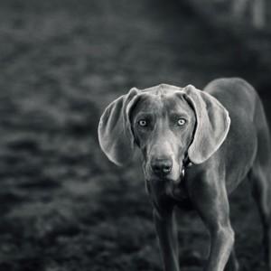 Weimaraner – Dog portrait